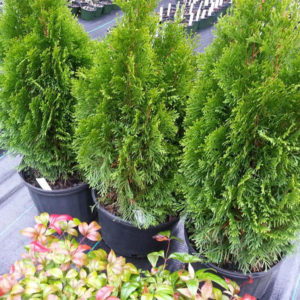 Emerald Green Arborvitae at Maples N More Nursery-- a plant nursery in Burnsville NC