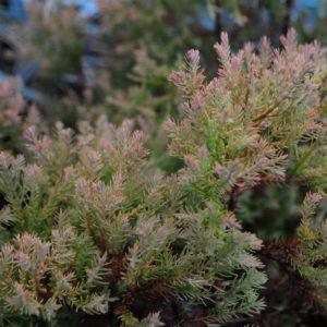 Rheingold Arborvitae in Fall at Maples N More Nursery-- a plant nursery in Burnsville NC