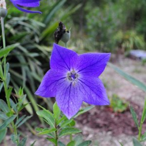 Balloon Flower (open) at Maples N More Nursery-- a plant nursery in Burnsville NC