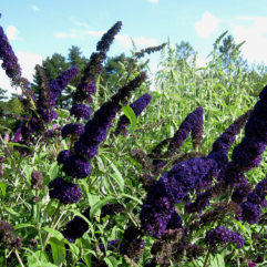 Black Knight Butterfly Bush at Maples N More Nursery-- a plant nursery in Burnsville NC