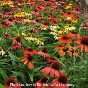 Cheyenne Spirit Echinacea, for sale at Maples N More Nursery Burnsville NC