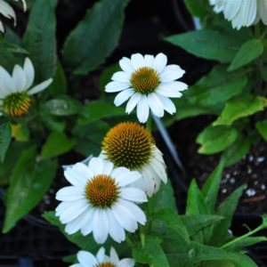 Pow Wow White Coneflower at Maples N More Nursery-- a plant nursery in Burnsville NC
