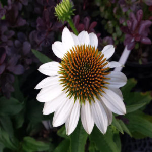 Pow Wow White Coneflower Bloom at Maples N More Nursery Burnsville NC