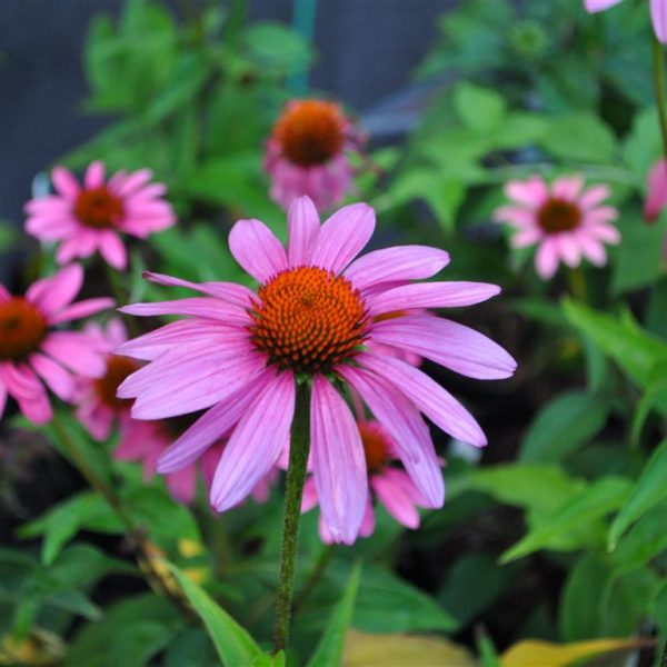 Ruby Star Coneflower at Maples N More Nursery-- a plant nursery in Burnsville NC