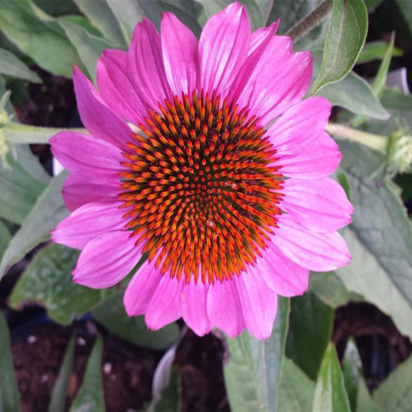 Ruby Star Coneflower at Maples N More Nursery Burnsville NC