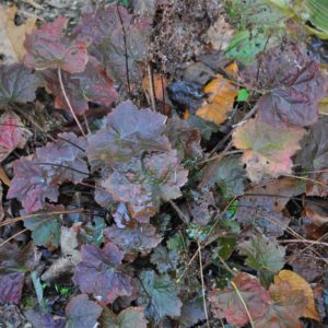 Palace Purple Heuchera (fall colors) at Maples N More Nursery Burnsville NC