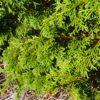 Pygmy Hinoki Cypress trees at Maples N More Nursery Burnsville NC