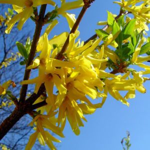 Kumson Forsythia bush in bloom, at Maples N More plant nursery