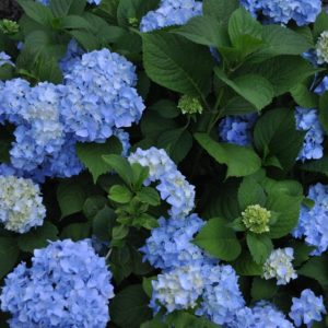 Nikko Blue Hydrangea (closeup) at Maples N More Nursery-- a plant nursery in Burnsville NC