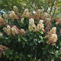 Pink Diamond Hydrangea (fall) at Maples N More Nursery-- a plant nursery in Burnsville NC