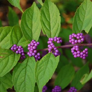 Issai Beautyberry Berries at Maples N More Nursery Burnsville NC