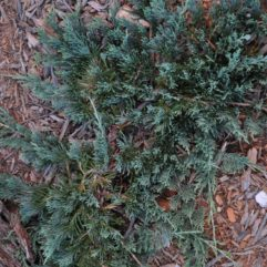 Juniper Blue Rug at Maples N More Nursery-- a plant nursery in Burnsville NC