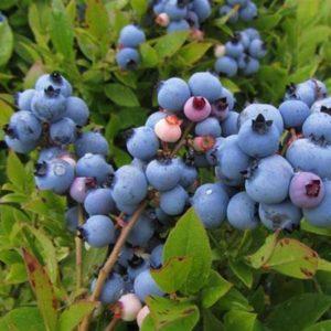 Misty Blueberry