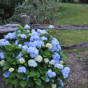 Nikko Blue Hydrangea bush in bloom at Maples N More plant nursery