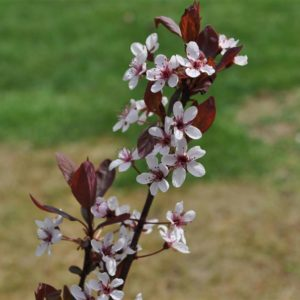 Purple Leaf Sand Cherry at Maples N More Nursery-- a plant nursery in Burnsville NC specializing in Japanese Maple trees.