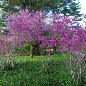 Redbud tree at Maples N More Nursery-- a plant nursery in Burnsville NC