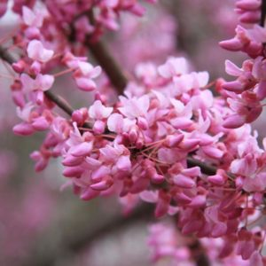 Redbud Tree blooms at Maples N More plant nursery