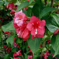Red Prine Weigela bloom at Maples N More Nursery Burnsville NC