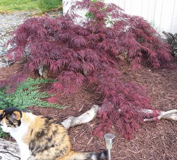 Crimson Queen Japanese Maple at Maples N More plant nursery