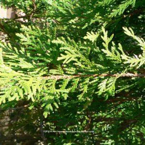 Green Giant Arborvitae Foliage