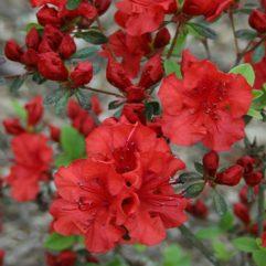 Hershey Red Azalea (closeup) at Maples N More Nursery Burnsville NC