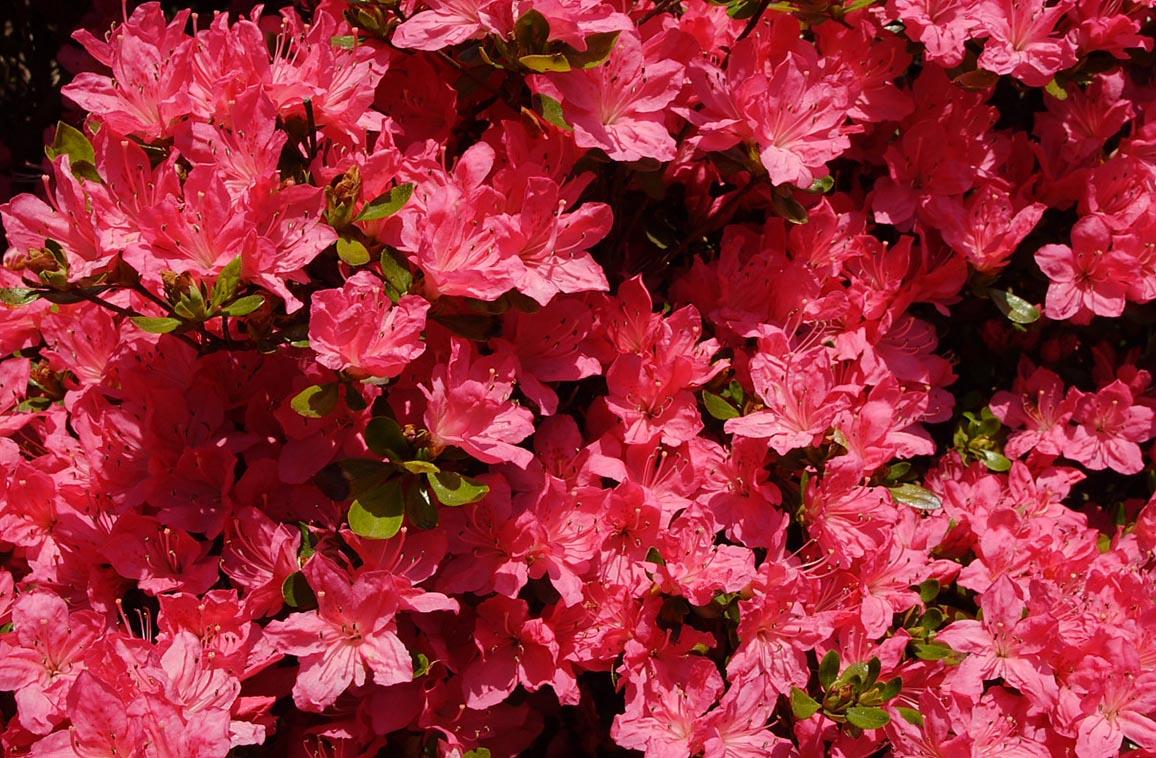 Hershey red azalea maples n more nursery for The azalea