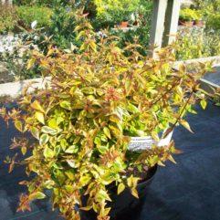 Hopley's Abelia at Maples N More Nursery Burnsville NC