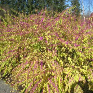 Issai Beautyberry (mature stage) at Maples N More Nursery Burnsville NC