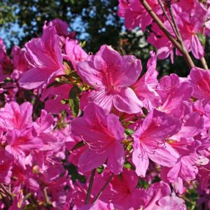 Tradition Pink Azalea (closeup) at Maples N More Nursery Burnsville NC