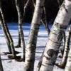 White Birch Trees at Maples N More Nursery Burnsville NC
