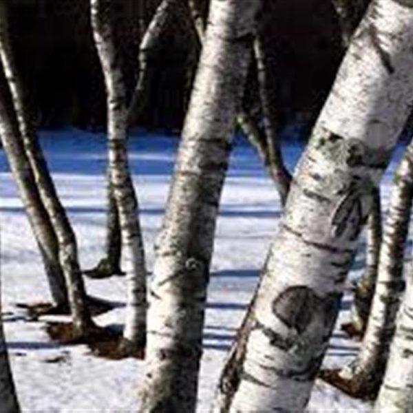 White Birch Trees at Maples N More Nursery Burnsville NC
