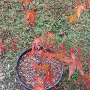 Baton Rouge Japanese Maple (fall) at Maples N More plant nursery