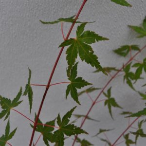 Baton Rouge Japanese Maple leaf and stems at Maples N More plant nursery