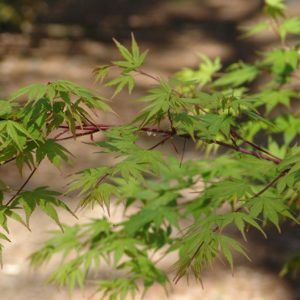 Beni Kawa Japanese Maple tree, leaves and branches, at Maples N More plant nursery