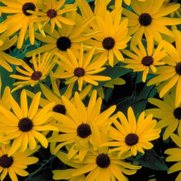 Black Eyed Susan flowers at Maples N More Nursery Burnsville NC