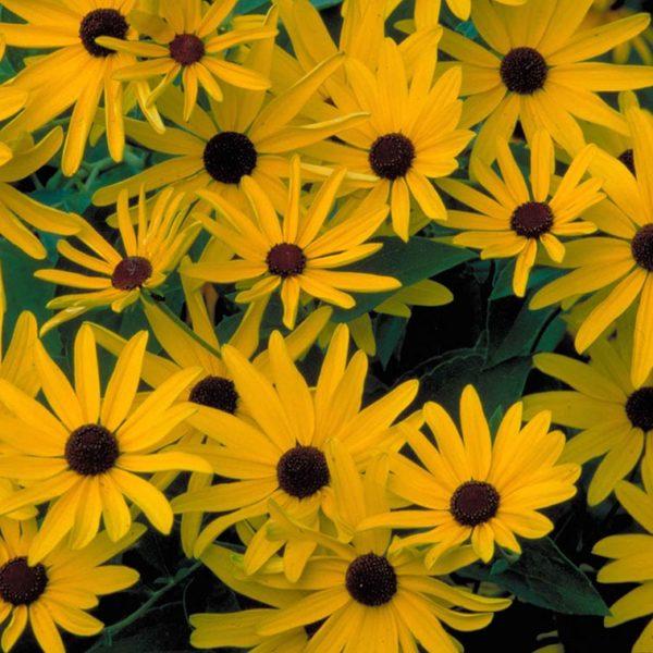 Black Eyed Susan flowers at Maples N More Nursery Burnsville NC
