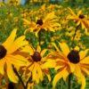 Black Eyed Susan (closeup), flowers at Maples N More Nursery Burnsville NC