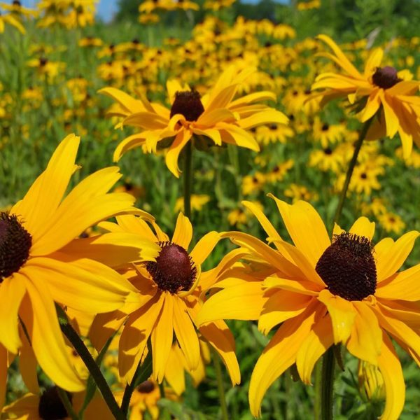 Black Eyed Susan (closeup), flowers at Maples N More Nursery Burnsville NC