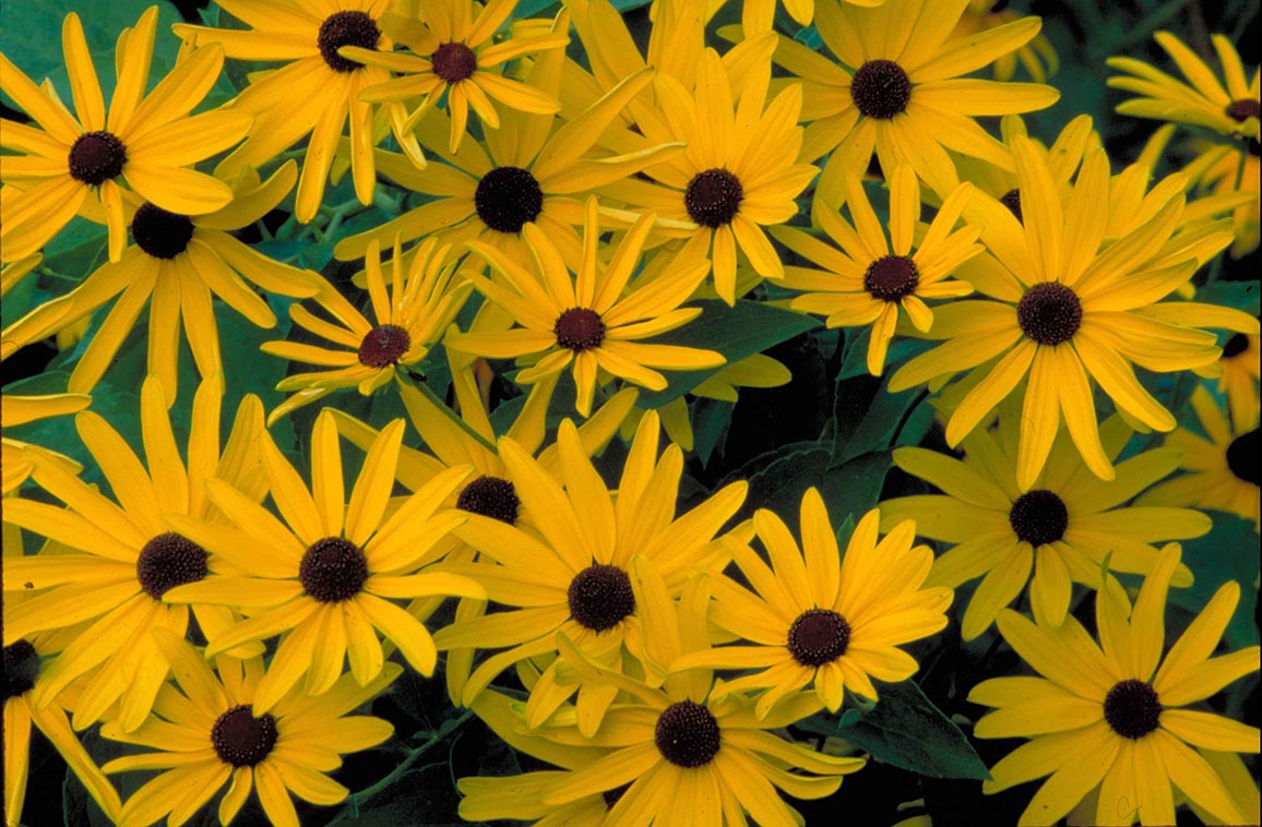 Black Eyed Susan Maples N More Nursery