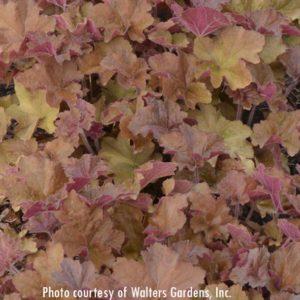 Caramel Heuchera (fall color) at Maples N More Nursery Burnsville NC