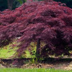 Crimson Queen Japanese Maple tree at Maples N More plant nursery