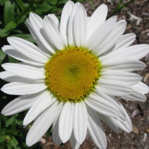 Shasta Daisy Becky bloom - flowers at Maples N More Nursery Burnsville NC