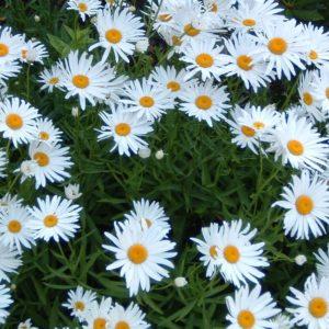 Shasta Daisy Becky flowers at Maples N More Nursery Burnsville NC