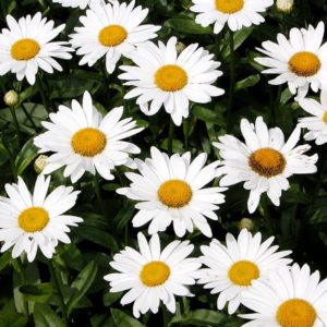 Shasta Daisy Silver Princess flowers at Maples N More Nursery Burnsville NC