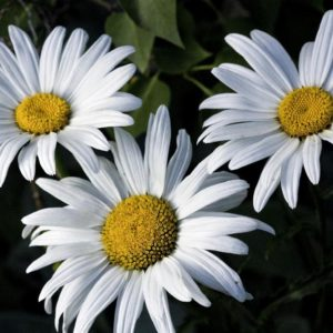 Shasta Daisy Silver Princess blooms flowers at Maples N More Nursery Burnsville NC