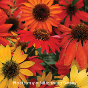 Echinacea (Cheyenne Spirit) for sale at Maples N More Nursery Burnsville NC