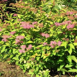 Goldmound Spirea at Maples N More Nursery Burnsville NC