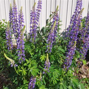 Purple Lupine Blooms