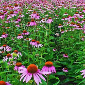 Magnus Superior Coneflower at Maples N More Nursery Burnsville NC