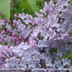 Miss Kim Lilac bloom at Maples N More plant nursery